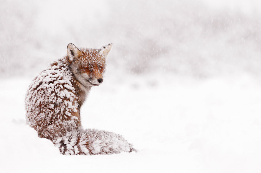 zorros-rojos-nieve-roeselien-raimond- (1)