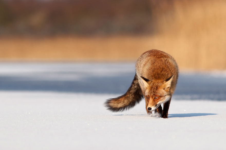 Red fox (vulpes vulpes) crossing a frozen lake