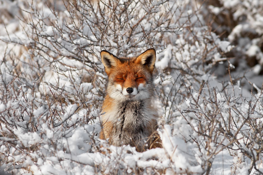 zorros-rojos-nieve-roeselien-raimond- (11)