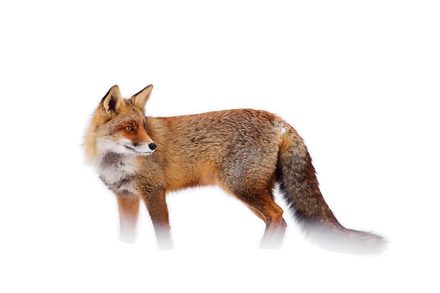zorros-rojos-nieve-roeselien-raimond- (13)