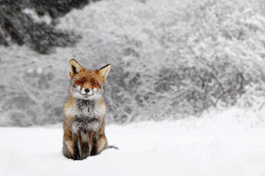 zorros-rojos-nieve-roeselien-raimond- (14)