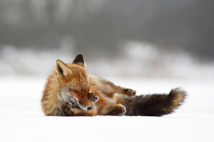 Red fox (vulpes vulpes) enjoys rolling in the snow