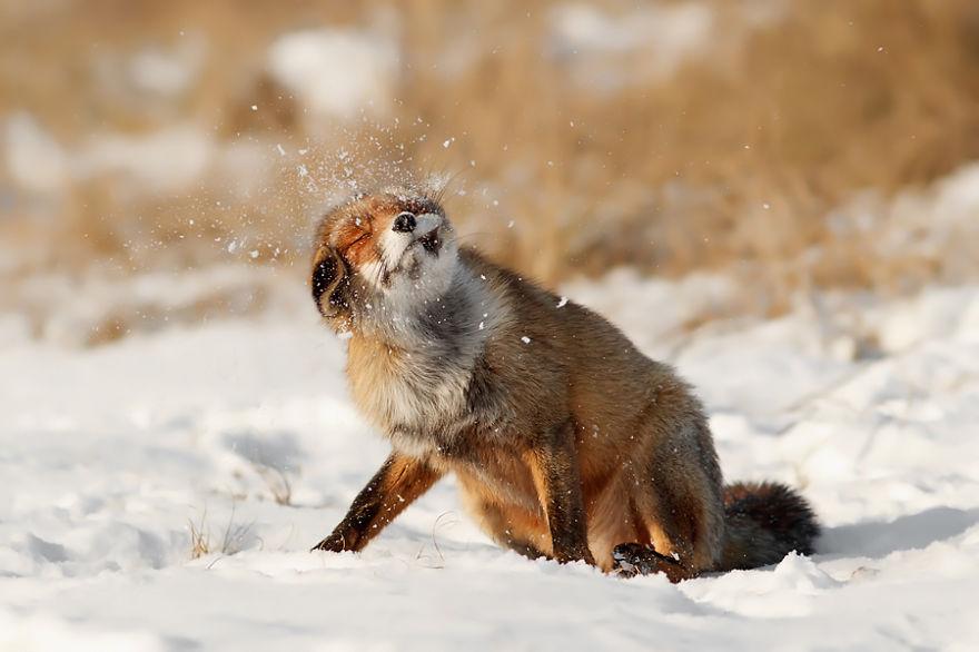 zorros-rojos-nieve-roeselien-raimond- (16)