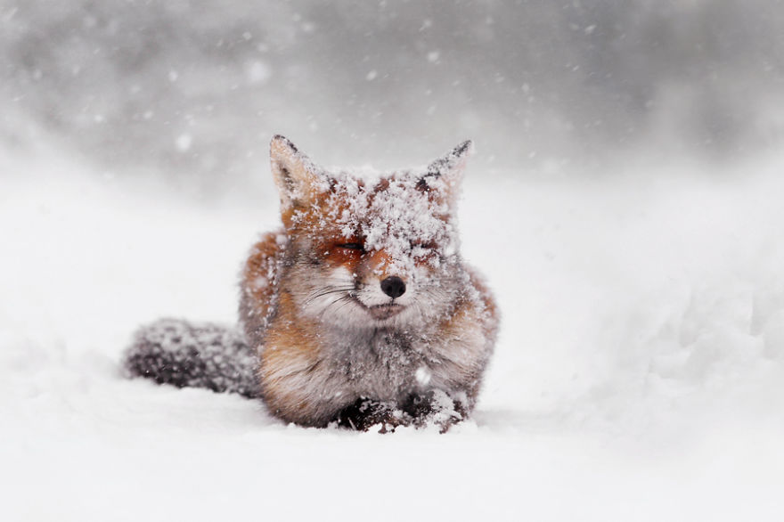 zorros-rojos-nieve-roeselien-raimond- (17)