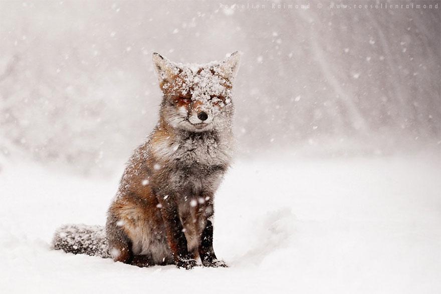 zorros-rojos-nieve-roeselien-raimond- (2)