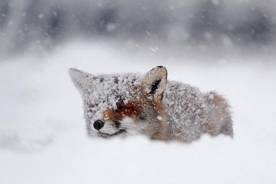 zorros-rojos-nieve-roeselien-raimond- (3)