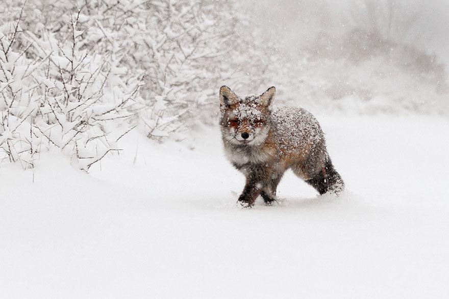zorros-rojos-nieve-roeselien-raimond- (4)