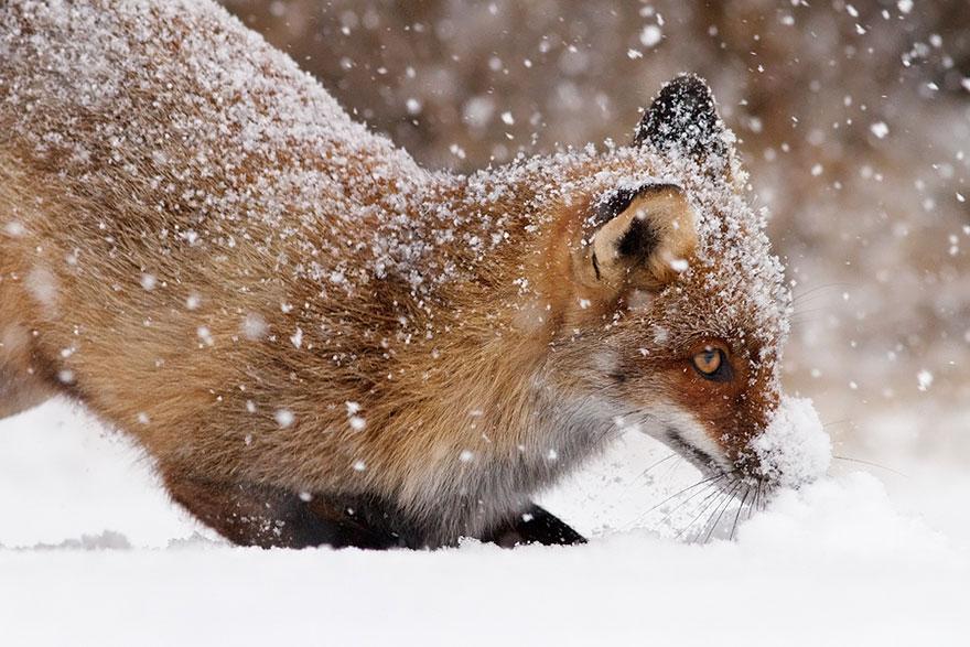 zorros-rojos-nieve-roeselien-raimond- (5)
