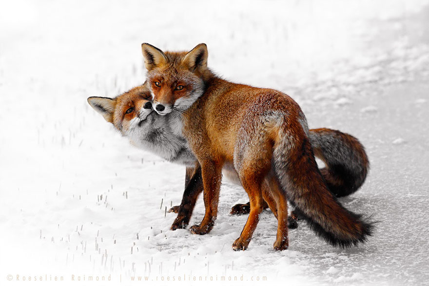 zorros-rojos-nieve-roeselien-raimond- (6)