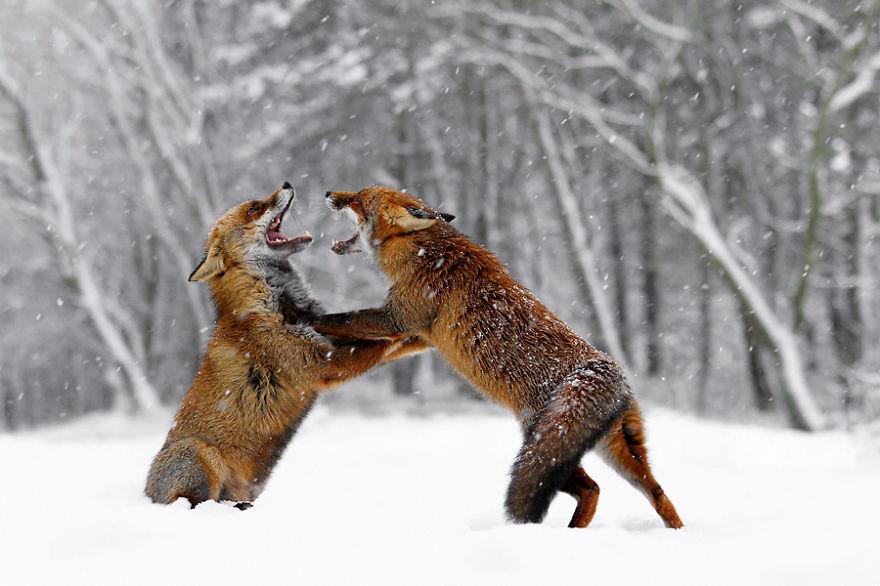 zorros-rojos-nieve-roeselien-raimond- (8)