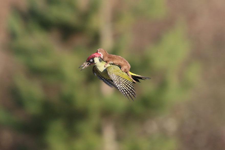cría de comadreja se fue volando sobre un pájaro carpintero  Fotos-comadreja-montando-pajaro-carpintero-martin-le-may-1