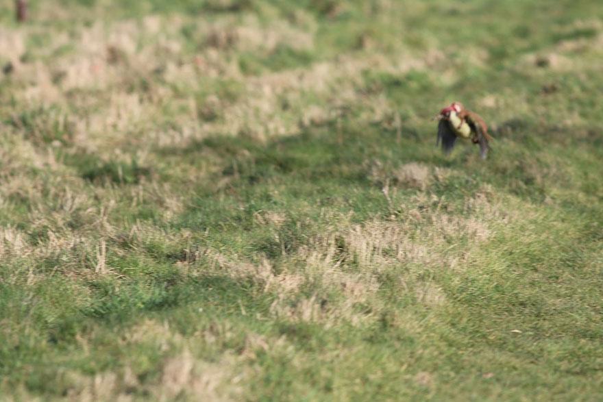 cría de comadreja se fue volando sobre un pájaro carpintero  Fotos-comadreja-montando-pajaro-carpintero-martin-le-may-2