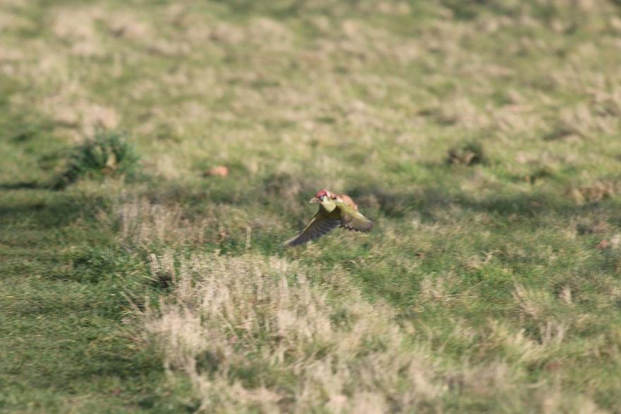 cría de comadreja se fue volando sobre un pájaro carpintero  Fotos-comadreja-montando-pajaro-carpintero-martin-le-may-3