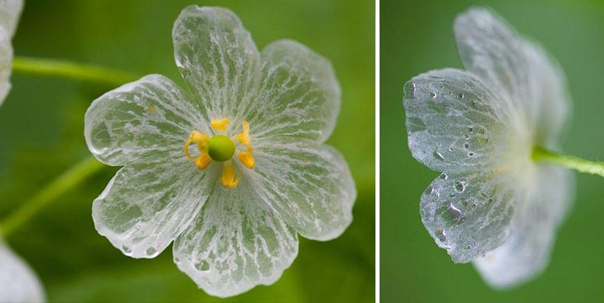 flor-esqueleto-petalos-transparentes-lluvia-diphylleia-grayi (10)