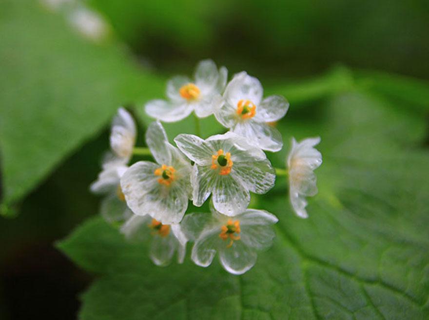 flor-esqueleto-petalos-transparentes-lluvia-diphylleia-grayi (4)