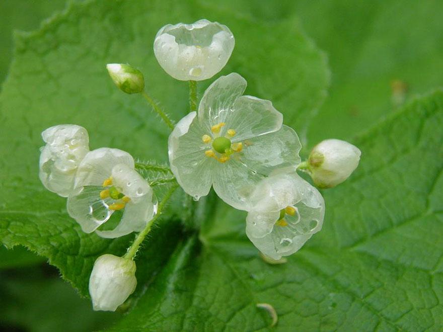 """Las llamadas """"flores esqueleto"""" se vuelven transparentes cuando ..."""