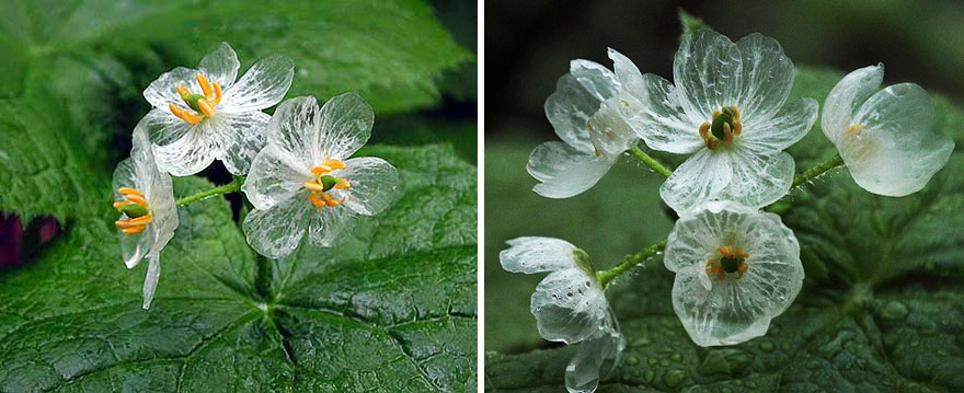 flor-esqueleto-petalos-transparentes-lluvia-diphylleia-grayi (9)