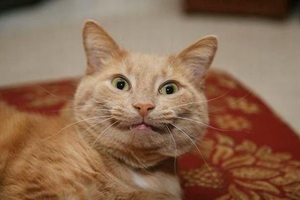 gatos-sonrientes (23)