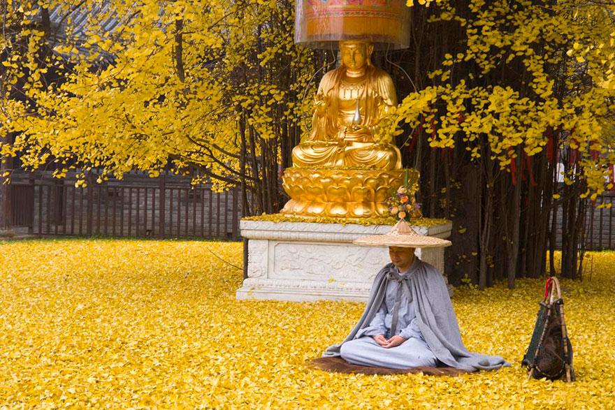 Las hojas caídas de este árbol ginkgo de 1400 años inundan este templo budista