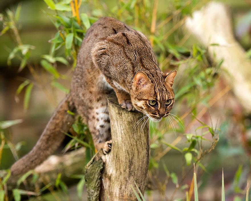 21 Especies curiosas de felinos salvajes que seguramente no conocías