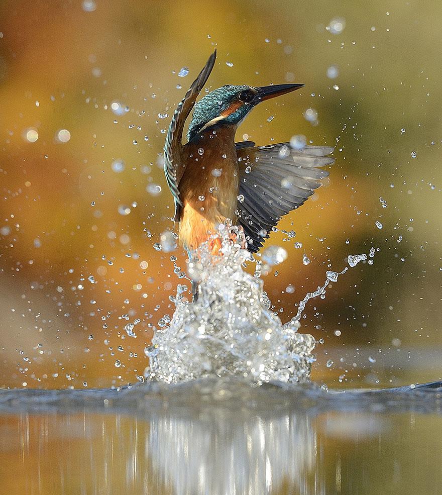 Tras 6 años y 720.000 intentos, este fotógrafo sacó la foto perfecta a martín pescador