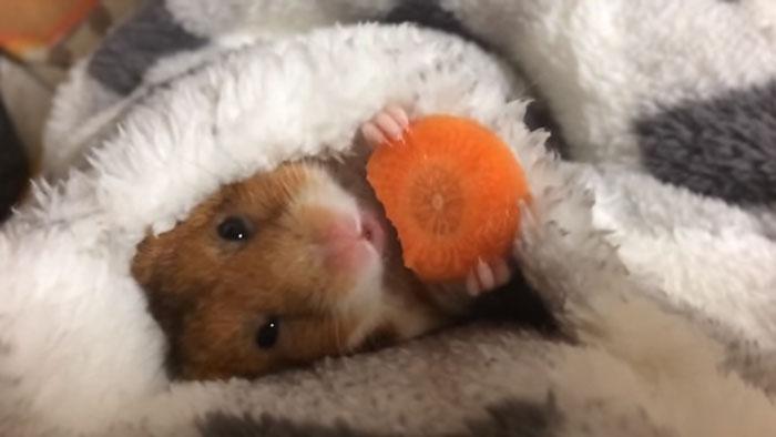 Este adorable hamster japonés comiendo zanahoria antes de dormir logra conquistar internet