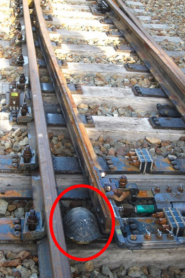 Los ferrocarriles de Japón construyen túneles para tortugas