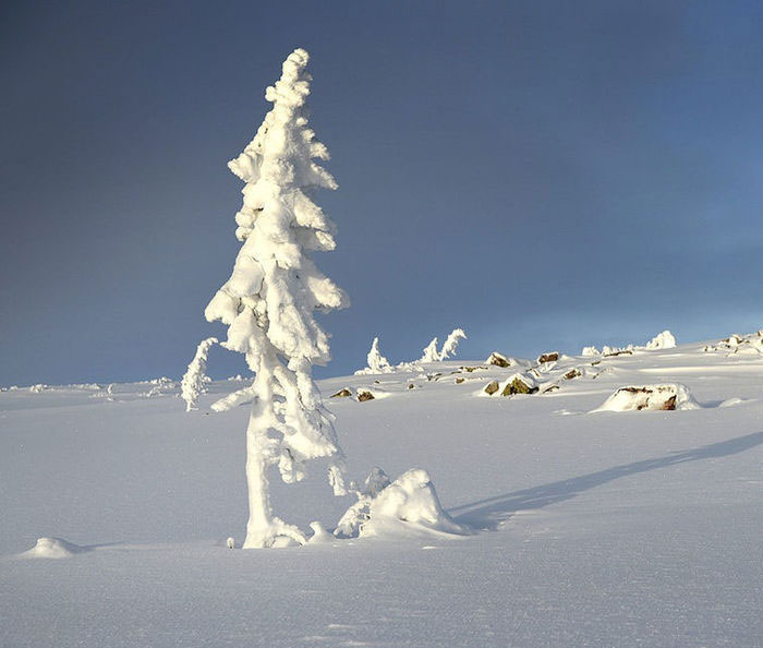 Este árbol de 9500 años encontrado en Suecia es el más viejo del mundo