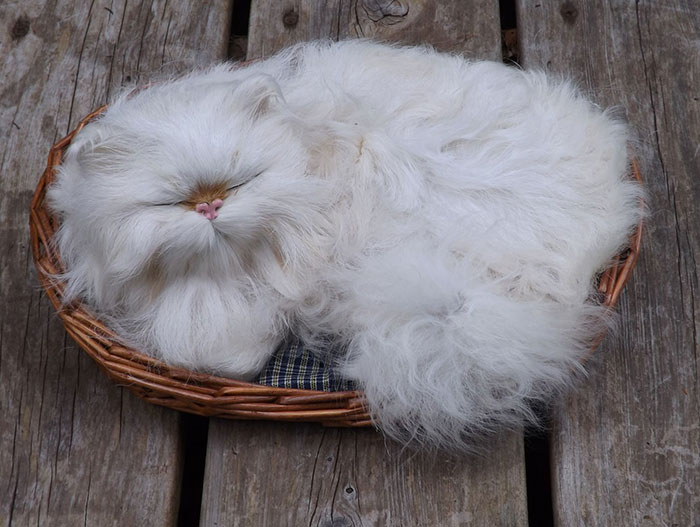 20 De los gatos más peludos y esponjosos del mundo
