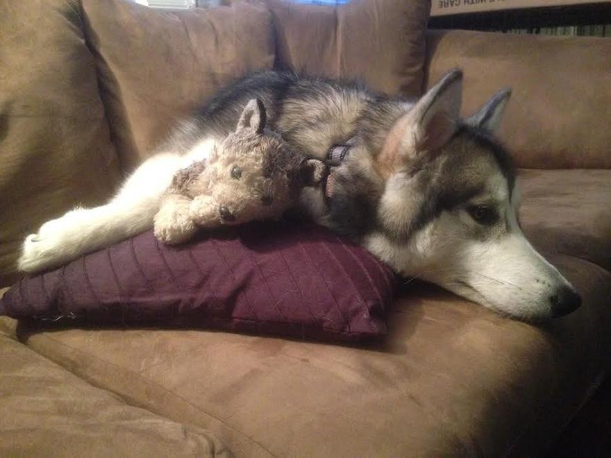 peluche-favorito-perro-malamute-luca-karissa-lerch (2)