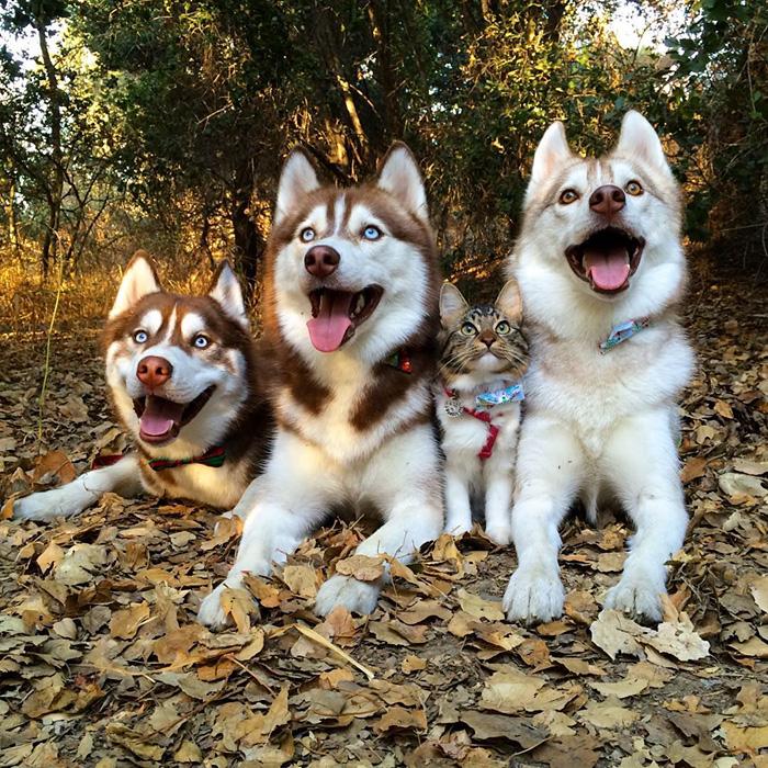 gato-rosie-amistad-3-perros-huskies (14)