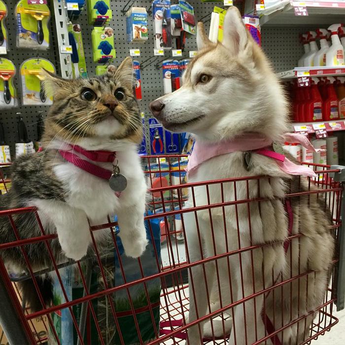 gato-rosie-amistad-3-perros-huskies (2)