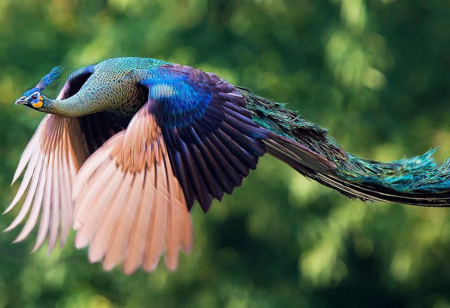 pavos-reales-volando (1)