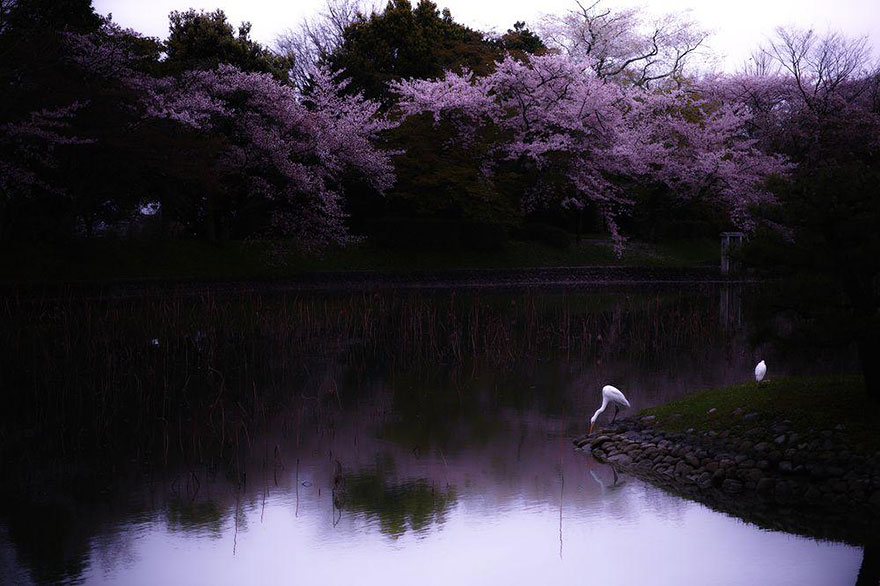 primavera-flores-cerezo-sakura-japon-national-geographic (11)