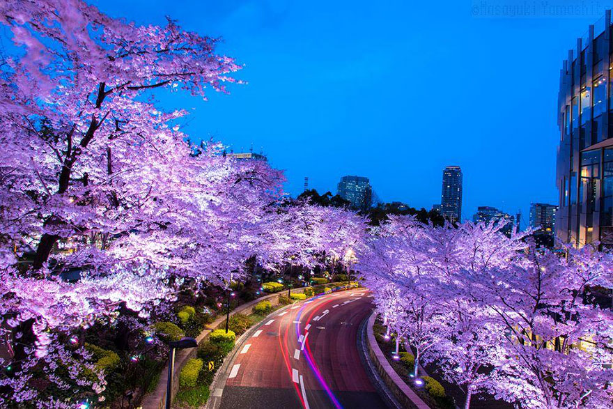 primavera-flores-cerezo-sakura-japon-national-geographic (3)