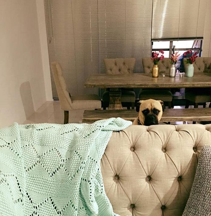 cyrus-perro-inquietante-bullmastiff-lauren-birney (12)
