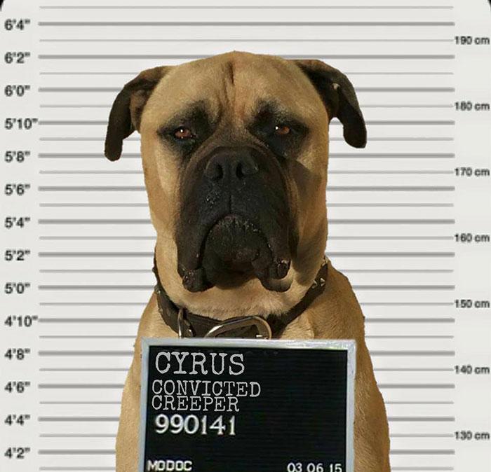 cyrus-perro-inquietante-bullmastiff-lauren-birney (6)