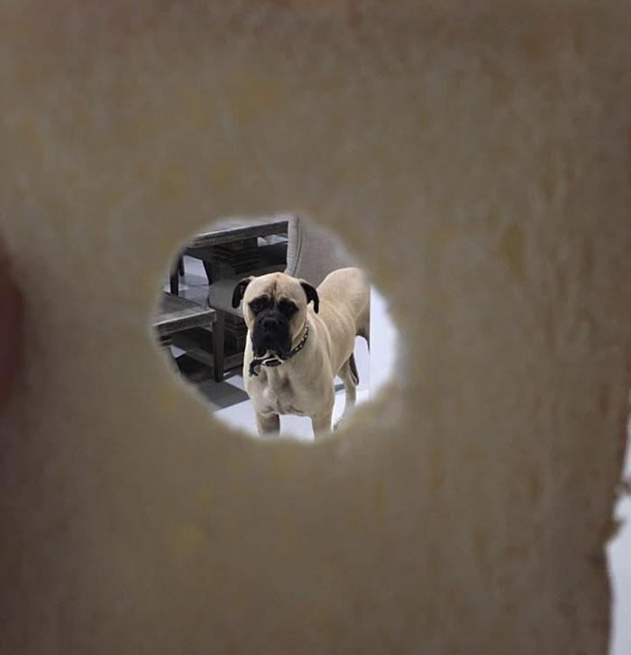 cyrus-perro-inquietante-bullmastiff-lauren-birney (8)
