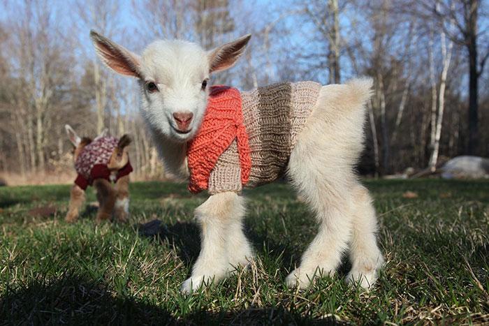 Estos 3 cabritillos tienen jerséis tejidos a mano para estar calentitos