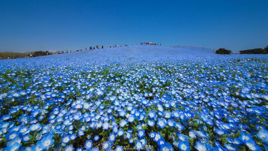 fotografia-flores-nemophila-japon-hidenobu-suzuki (2)