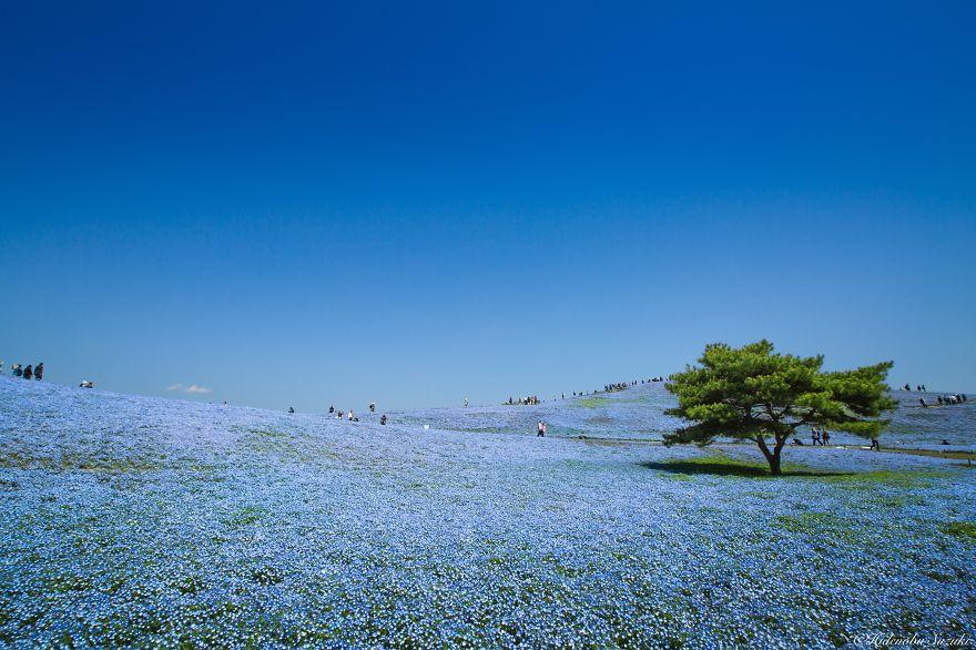 fotografia-flores-nemophila-japon-hidenobu-suzuki (3)