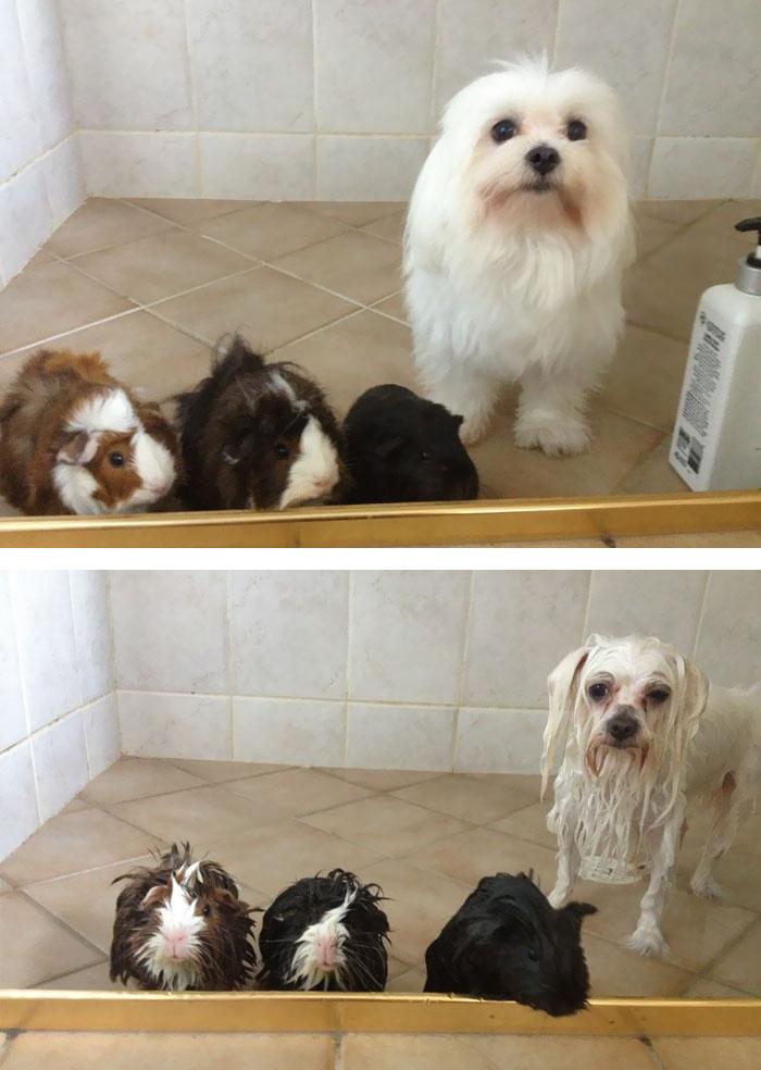fotos-mascotas-antes-despues-bano (30)
