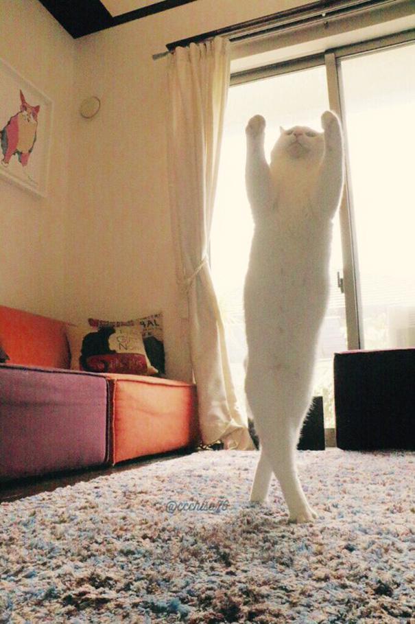 gato-bailarin-japon (4)