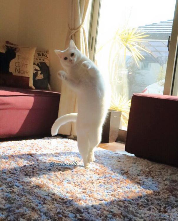 gato-bailarin-japon (7)