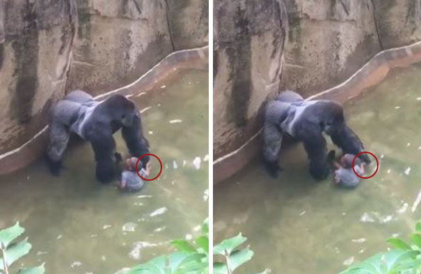 gorila-harambe-disparado-accidente-nino-zoo-cincinnati (2)