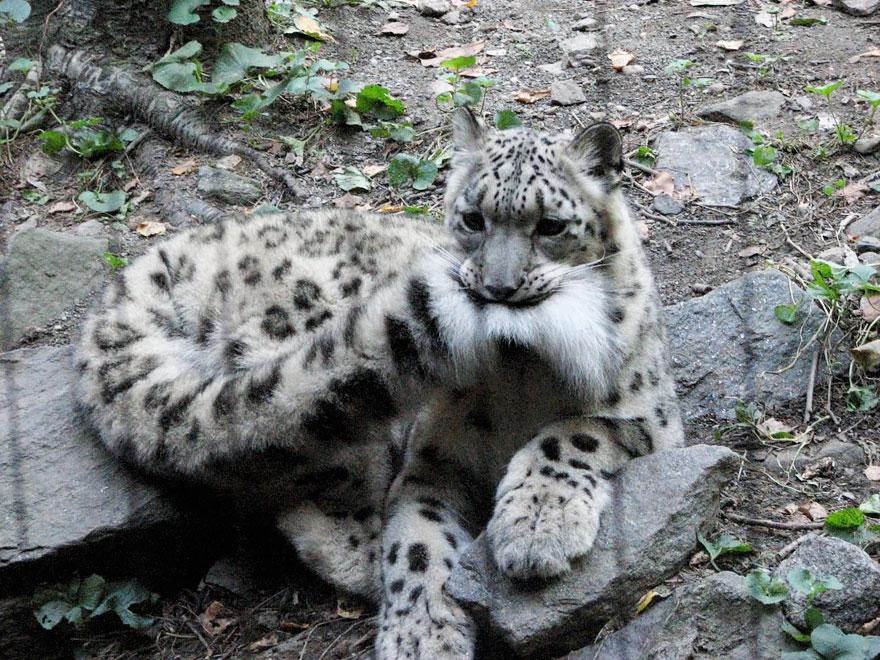 leopardos-nieves-mordiendose-cola (2)