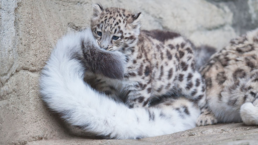 leopardos-nieves-mordiendose-cola (6)