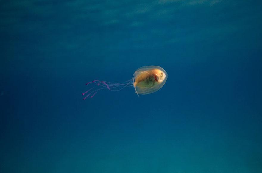 pez-atrapado-interior-medusa-tim-samuel (1)