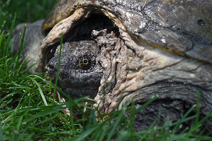tortuga-atacada-destornillador-recuperada-tuttle (1)