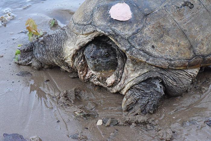 tortuga-atacada-destornillador-recuperada-tuttle (2)